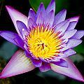 Purple Lotus  by Raimond Klavins