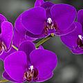 Purple Majesty by John  Nickerson