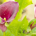 Purple Mini Calla Lily On A Sea Of Green by MaryJane Armstrong
