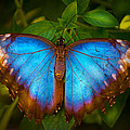 Purple Morpho Butterfly by Mark Andrew Thomas