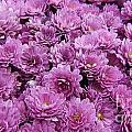 Purple Mums by Traci Law