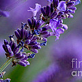 Purple Nature - Lavender Lavandula by Eva-Maria Di Bella