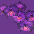 Purple Orchid On Purple by Rosemary Calvert