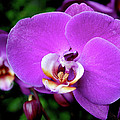 Purple Orchid by Rona Black