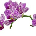 Purple Orchid-3 by Rudy Umans