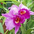 Purple Cattleya Orchids by Ellen Henneke