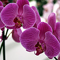 Royal Orchids  by William Dey