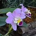 Purple Orchids by William Hallett
