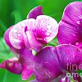 Purple Pansies by Optical Playground By MP Ray