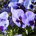 Purple Pansies by Sonali Gangane