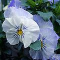 Purple Pansies by Tikvah's Hope