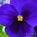 Purple Pansy Closeup by Maria Urso