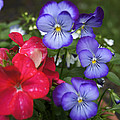 Purple Pansy Flowers By Line Gagne by Line Gagne