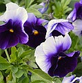 Purple Pansy Melody by Maria Urso