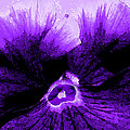 Purple Pansy Rising by Michele Avanti