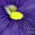 Purple Pansy by Sabrina L Ryan