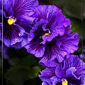 Purple Pansy by Sarah Dowson