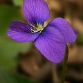 Purple Pansy by Susan McMenamin