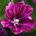 Purple Hollyhock by Christina Rollo