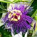 Purple Passion Flower by Kristina Deane
