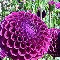 Purple Perfection Dahlia Flower by Susan Garren