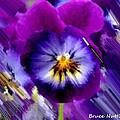 Purple Petunia by Bruce Nutting