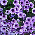 Purple Petunias by Aimee L Maher ALM GALLERY