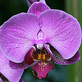 Purple Phalaenopsis Orchids by Judy Whitton