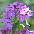 Purple Phlox by Nicki Bennett