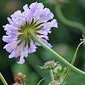 Purple Pincushion Flower by Suzanne Gaff