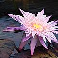 Purple Pink Yellow Waterlily... by Rob Luzier