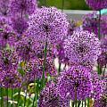 Purple Pom Poms by Susan Herber