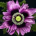 Purple Poppy by Karen Kutoloski