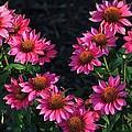 Purple Pow Echinacea  by Michael Saunders