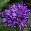 Purple Pride by Lori Tordsen