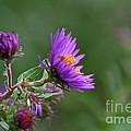 Purple Profiles by Susan Herber