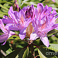 Purple Rhododendron by Carol Groenen