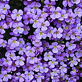 Purple Rockcress by Carol Groenen