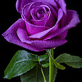 Purple Rose by Garry Gay