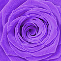 Purple Rose by Semmick Photo