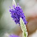 Purple Sage by Pamela Gail Torres