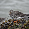 Purple Sandpiper 2 by James Petersen