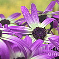 Purple Senetti IIi by Cate Schafer