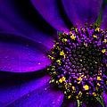 Purple Senetti In Macro by Rosanna Zavanaiu
