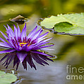 Purple Spiked Water Lily by Sabrina L Ryan