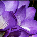 Purple Springtime by Phyllis Denton