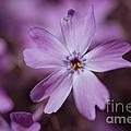 Purple Star by Hannes Cmarits