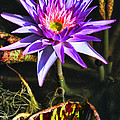 Purple Star Water Lily  By Diana Sainz by Diana Raquel Sainz