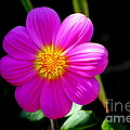 Purple Dahlia by Jill Black