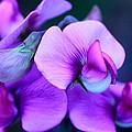 Purple Sweet Peas by Scott Hill